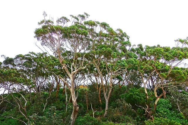 eukalyptus-aetherisches-oel