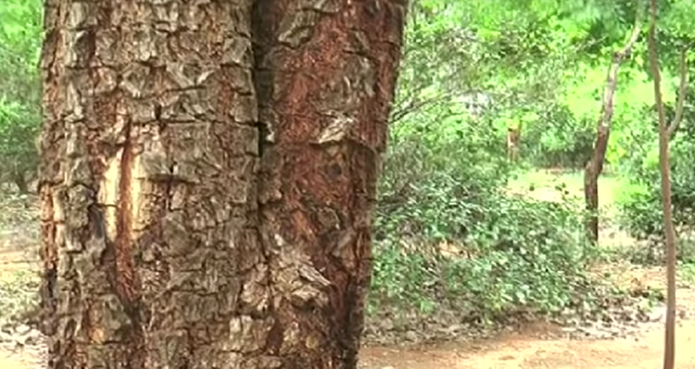 sandelholz-aetherisches-oel