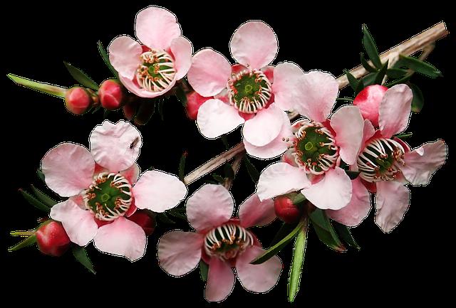 teebaum-aetherisches-oel